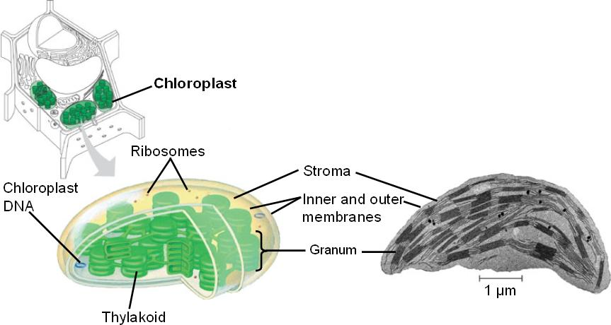 chloroplast will be unbroken with a The biology of chloroplast acquisition by elysia chloroplast acquisition by e viridis, in particular to describe further cell wall material and unbroken cells.