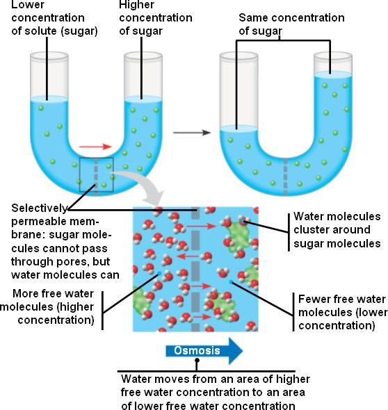 osmosis in sugar solution