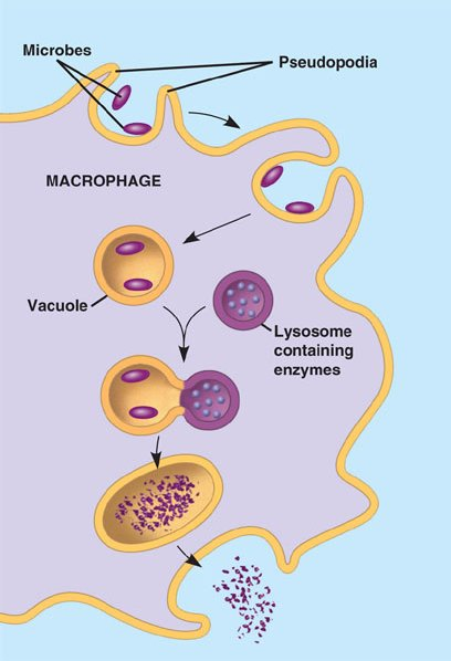 phagocytosis.html 43_04Phagocytosis.jpg