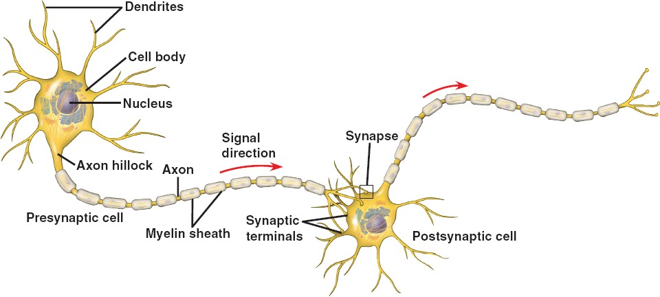 Peripheral nervous system nervous system chemical synapse ccuart Image collections